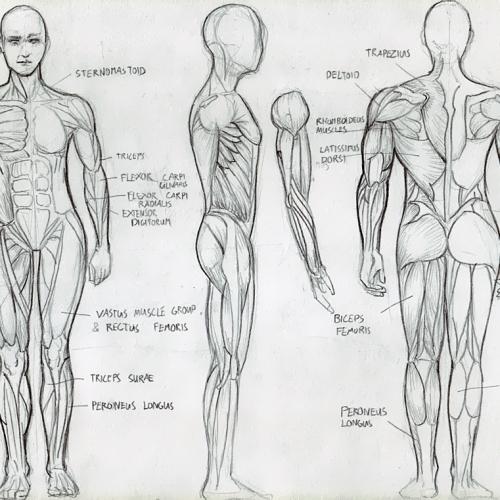 Anatomy Study 009